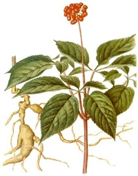 panax gingseng picture