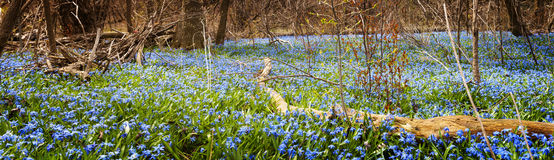 carpet-blue-flowers-spring-forest-panorama-early-glory-snow-blooming-abundance-floor-ontario-canada-31494196