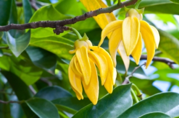 Ylang-Ylang Flowers