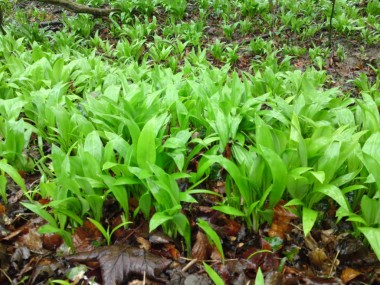 ramsons-march1-1024x768